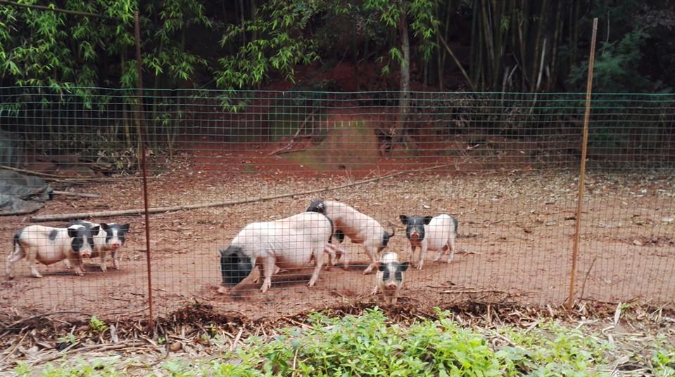 为什么猪价高涨的今天,还死守生态放养猪,做
